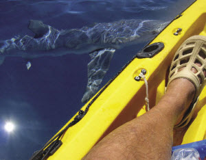 hazards of sharks and kayaks