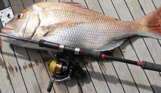 Shimano 4000D Baitrunner and a solid 6kg Rangitoto Channel snapper