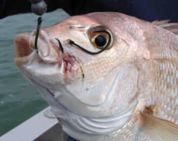 Snapper secrets how to catch them the fishing website for Secret fishing spots near me