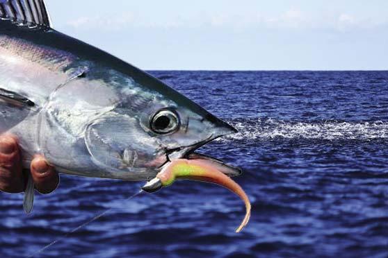 skipjack herring, fringed darter, and guardian darter ...  Skipjack Minnow