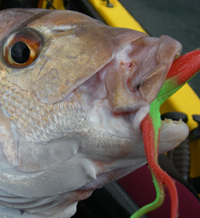 snapper on a softbait from a kayak