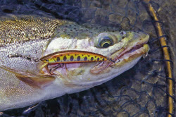 trout fishing - advanced spin-fishing tactics - the fishing website, Fly Fishing Bait
