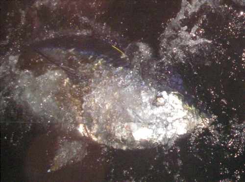 taged and released est 270kg bluefin