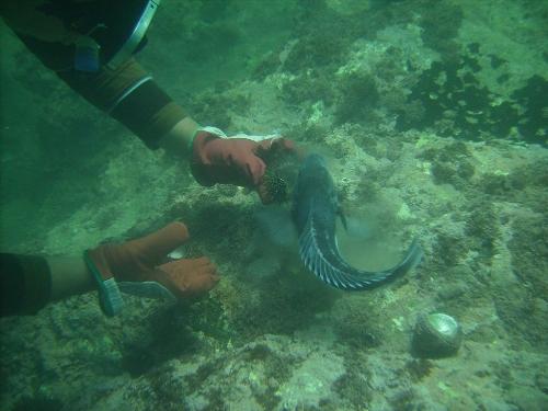Feeding the friendly east coast blue cod