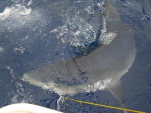 Blue shark munching a Barracouta