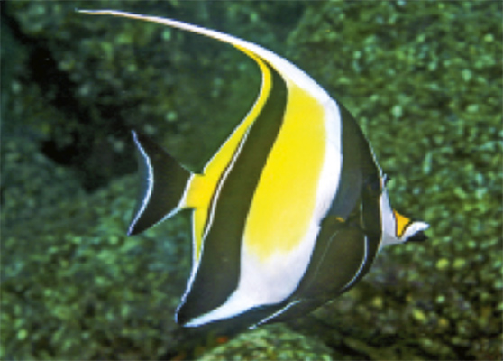 A mature moorish idol showing the distinctive sickle-shaped fin, long snout and small bony protrusions in front of the eyes.