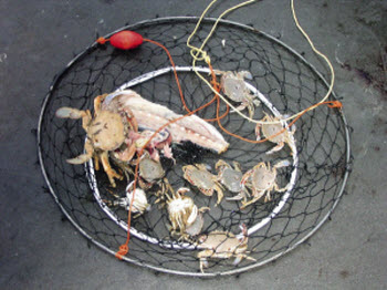 How To Catch Paddle Crabs The Fishing Website