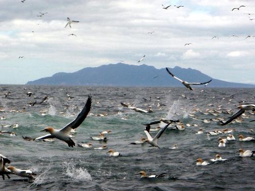 Gannet frenzy