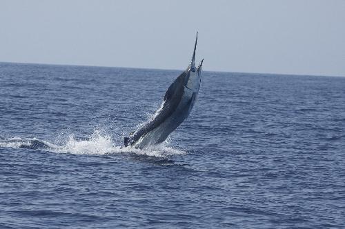 600lb blue marlin on marlin magic 2009 season