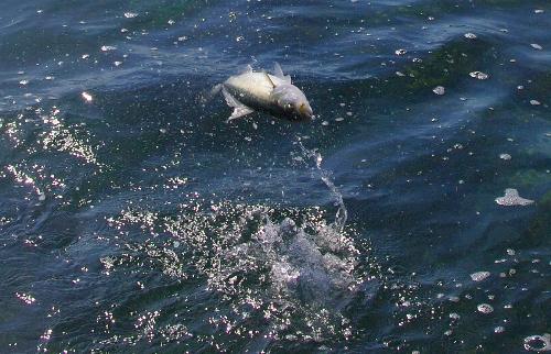 Kahawai on saltwater fly