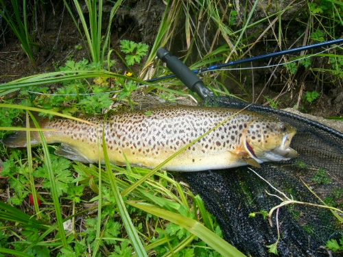 nice 4.5lb back country stream brown caulght on  the dry fly