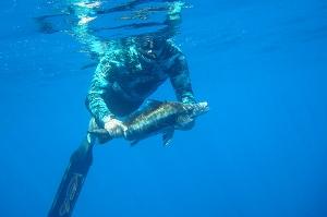 Boarfish, Speared im 28m of water,Motiti island BOP